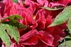 DSC_7677 (griecocathy) Tags: arbuste pivoine fleur feuille coeur pétale rosée gouttelette eau jaune rose vert