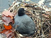 DSCF7321 (Rae_Gellel) Tags: coot nest mate mating couple babies eggs spring season floating coots birds waterfowl wate water lake den fowl pond leaves hyde park royal parks