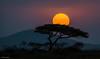 Timeless Africa (He Ro.) Tags: tanzania tansania africa afrika safari serengetinationalpark sunset tree schirmakazie handheld landscape gras acacia eastafrica landschaft sonnenuntergang stunning lowlight baum