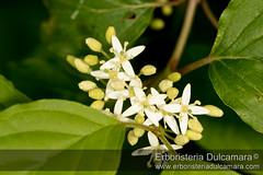 Cornus sanguinea (Erboristeria Dulcamara) Tags: cornus sanguinea foto macro erbe spontanee