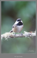 Black Capped Chickadee (frankpaliphotography) Tags: december portrait american woods bark city perched background holiday spruce poecile songbird wild perch bird chickadee sky ice black avian christmas winter capped north birdwatching outdoors animal branch blackcapped snow scene clouds river eye blue urban wildlife park forest friends backyard nature snowy bough season card white