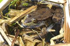 Marsh frog (ocelotcreative) Tags: marshfrog amphibian frog londonwildlife ukwildlife londonwetlandcentre