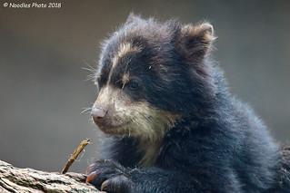 Brillenbärchen - Spectacled bear  (in explore 02.05.2018)