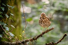 Song Thrush (_John Hikins) Tags: songbird song thrush bird birds nikon nikkor nature sigma stover devon d500 150600mm 150600c 150600 branch bokeh wildlife woods animal