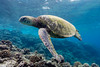 This Year's Turtle (Mike Cialowicz) Tags: epl5 hawaii maui olympus ptep10 pacific scuba dive diving ocean underwater water turtle