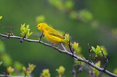 Yellow Warbler (U.S. Fish and Wildlife Service - Midwest Region) Tags: warbler nature 2018 mn bird birding may seasons migration minnesota spring wildlife animal
