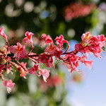 Blütenstand der Fleischroten Rosskastanie thumbnail