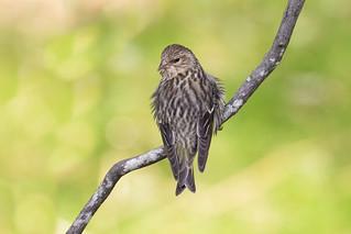 Pine Siskin (Spinus pinus), Williamson County, Tennessee (1)