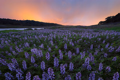 Flower Storm (rootswalker) Tags: mothersday wildflowers lupines lupin sunset distagont2815 nikond810 storm