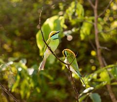 Little Green Bee Eaters (Just Ron ;)) Tags: bird nikon 70210 imageron srilanka travel udawalawe green bokeh