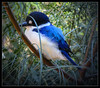 Blue Kingfisher (Seeing Things My Way...) Tags: bird feathers plumage blue kingfisher australianbirds bluekingfisher beak bill tarongazoo aviary