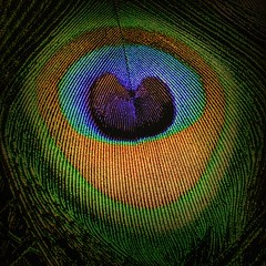 Eye of the Plumage, 45/100X (clarkcg photography) Tags: closeup macro eye feather peacock color brilliant blue purple gold green 212x212 wednesdaymacro 7dwf bird 100xthe2018edition 100x2018 image45100