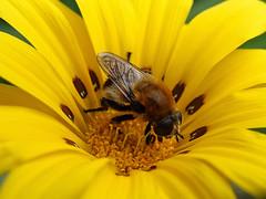 Honeybee on the flower (Carandoom) Tags: macro flower plante insect bee honeybee close up yellow infinitexposure sony rx10 m4