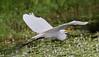 05-17-18-0018097 (Lake Worth) Tags: animal animals bird birds birdwatcher everglades southflorida feathers florida nature outdoor outdoors waterbirds wetlands wildlife wings