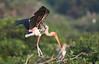 Painted stork (praveen.ap) Tags: painted stork paintedstork vedanthangal vedanthangalbirdsanctuary kanchipuram