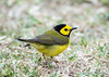 Hooded Warbler (Ed Sivon) Tags: america canon nature wildlife wild western warbler southwest galveston bird yellow park