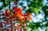 maple leaves (kderricotte) Tags: japanesemaple leaves sky tree bokeh depthoffield sony sonya7ii ilce7m2 sel85f18