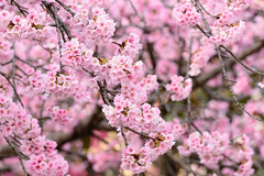 SAKURA 2018 #2 (applephoto*) Tags: 埼玉県 密蔵院 安行桜 桜 mitsuzoin temple cherryblossoms landscape japan 2018 saitama