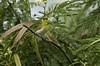 Japanese White-eye (Brad Rangell) Tags: japanesewhiteeye bird kealiapondnationalwildliferefuge maui hawaii island introducedspecies outdoors