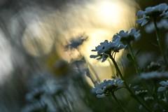 Iberis sempervirens. (agnieszka.a.morawska) Tags: nature sunset helios44m helios bkhq beyondbokeh bokehlicious dof bokeh spring wiosna flower kwiat ubiorek iberis
