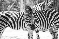 stripes (tinfrey) Tags: canonef70200mmf4lisusm canoneos6d bw stripes switzerland zebra zoo zürich animal