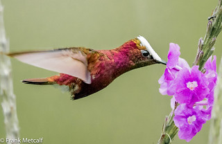 Snowcap Hummingbird male (Microchera albocoronata), Costa Rica