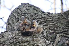320/365/3607 (April 27, 2018) - Squirrels in Ann Arbor at the University of Michigan (April 27th, 2018) (cseeman) Tags: gobluesquirrels squirrels annarbor michigan animal campus universityofmichigan umsquirrels04272018 spring eating peanut aprilumsquirrel juvenile juvenilesquirrels cavitynests cavities climber squirrelclimber 2018project365coreys yeartenproject365coreys project365 p365cs042018 356project2018