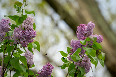 My neighbor's Lilac bush is blooming (John Brighenti) Tags: rockville maryland md sony alpha a7 backyard spring earlyevening sky trees plants branches leaves sel70300g lilacs purple