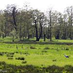 Stork in Dutch meadows
