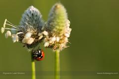 Oops (ILO DESIGNS) Tags: naturaleza nature naturallight ladybird ladybug coccinellaseptempunctata plantagolanceolata flowers flora fauna insects sunlight sunset meadow field closeup macro macrofotografía d3300 spain sigma15028 europe madrid green outdoors handheld color wildlife