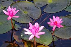 Water lilies! (Uhlenhorst) Tags: australia australien plants pflanzen flowers blumen blossoms blüten travel reisen 2017 coth coth5