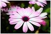 藍眼菊    Osteospermum (Alice 2018) Tags: flower purple bokeh hongkong 2018 canon carlzeiss zeiss jena ddr flektogon 35mmf28 flektogon35mmf28 m42 efmount adaptor spring canoneos7d eos7d