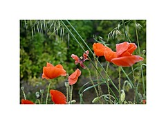Amapolas = Poppies (injoalma) Tags: poppie amapola flower flor rojo red verde green naturaleza nature