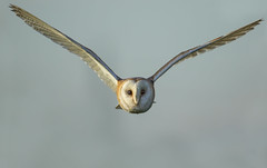 Barn Owl - The closest of encounters (Ann and Chris) Tags: avian amazing awesome bird beak eyes flying gorgeous gliding hunting hunt incredible image incoming impressive barnowl barn looking stunning outdoors unusual wild wildlife
