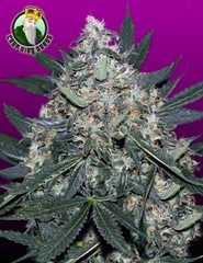 Black_Indica-240x312 (Watcher1999) Tags: black indica thc strains cannabis medical marijuana seeds growing smoking weed ganja legalize it reggae