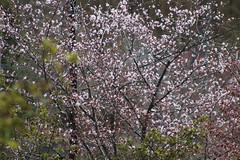 Cherry Blossoms, outside (sjrankin) Tags: 7may2018 edited yubari hokkaido japan zoom flower cherryblossom sakura tree ornamental