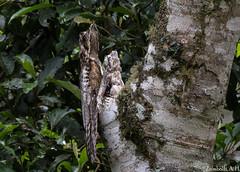 Nyctibius griseus (azambolli) Tags: nyctibius brasil ave bird urutau maedalua potoo nature natureza animal