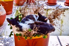 Cats in a pot. (rustyruth1959) Tags: cats corfu greece europe tamron16300mm nikond5600 nikon cat animal pot monastery teracotta two museum garden plants fur ears ionian terrace outdoor feline