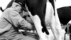 Milking (patrick_milan) Tags: comice agricole cow vache milk milking portrait