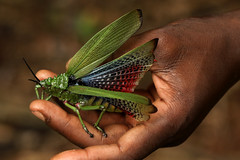 A bug in the hand...... (zimbart) Tags: mozambique africa cheringoma inhamitangaforest fauna arthropoda insects orthoptera phymateus phymateusviridipes pyrgomorphidae