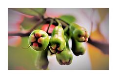 guava (andangkosasih) Tags: fruit health nature food
