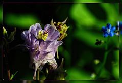 Columbine flower   in the morning light (scorpion (13)) Tags: columbine flower blossom plants garden color creative frame spring morning sun