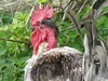 Bare necked rooster (vintage vix - Everything is a miracle) Tags: rooster cockerel