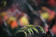 Botanic Gardens (whitebear100) Tags: botanicgardens wellington autumn maple fall autumncolours nz newzealand northisland 2018