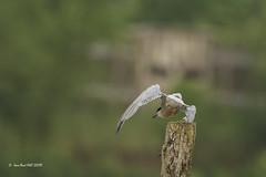 _JRH1977 (jeanrene31240) Tags: oiseaux sternes sternespierregarin occitanie mazères ariège domainedesoiseaux sternahirundo
