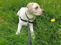 Gracie looking alert (walneylad) Tags: gracie dog canine pet puppy lab labrador labradorretriever cute may spring afternoon westlynn