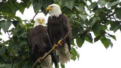Bald Eagles (shesnuckinfuts) Tags: americanbaldeagle baldeagle haliaeetusleucocephalus kentwa shesnuckinfuts may2018 eagles nature wildlife birdsofprey riverbendeagles