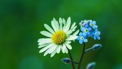 Flowers - 5174 (YᗩSᗰIᘉᗴ HᗴᘉS +15 000 000 thx) Tags: nature flower flora blue green hensyasmine namur belgium europa aaa namuroise look photo friends be wow yasminehens interest intersting eu fr greatphotographers lanamuroise tellmeastory flickering macro