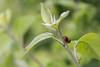 DSC_6579 (eloklb) Tags: coccinelle insecte coléoptère feuille printemps arbre