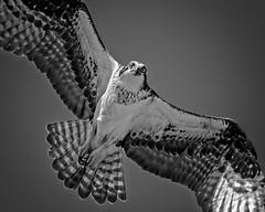 B&W Raptor #69 (lennycarl08) Tags: raptor birdofprey california northerncalifornia birds bird osprey